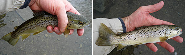 Brown trout ohio multi species for Trout fishing in ohio