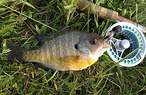 Bluegill on the 4 wt.