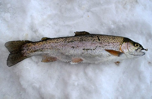 CWF021415rtrout