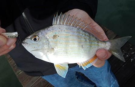 CWF01092016pinfish